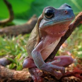 Frog by Novy Wijayanty - Animals Amphibians