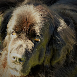 by Denise O'Hern - Animals - Dogs Portraits