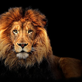 lion portrait by Wise Photographie - Animals Lions, Tigers & Big Cats