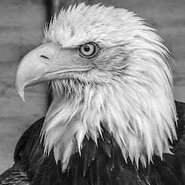 Sam by Garry Chisholm - Black & White Animals ( bird, garry chisholm, eagle, nature, black and white, wildlife, prey, raptor )