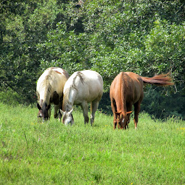 Munch Buddies by Rick Covert - Animals Horses ( farm, ranch, horses, rural, arkansas,  )