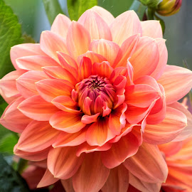 Dahlia 9942 by Raphael RaCcoon - Flowers Single Flower