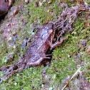 Johnstone's Whistling Frog