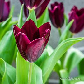 Tulipmania by Kamal Shokarti - Flowers Flower Gardens