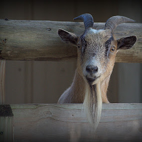 by Anita Frazer - Animals Other Mammals ( amimal, goat, beard, mammal, fence rails,  )