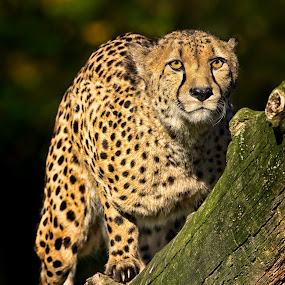 Gepard by Friedhelm Peters - Animals Other Mammals ( zoo, 2012, tiere, münster )