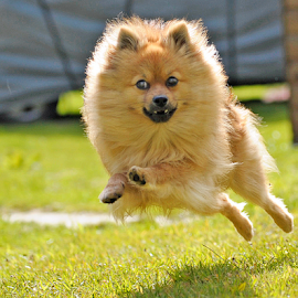 yahoo by Michael  M Sweeney - Animals - Dogs Running ( d3, joyfull, joy, puppy, michael m sweeney, nikon, run, dog, pomeranian )