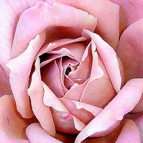 The Rose  by Peggi Wolfe - Flowers Single Flower ( wolfepaw, rose, nature, bloom, pink, photo, close-up, flower, photography )