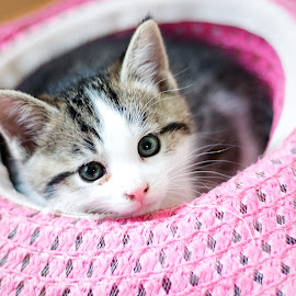 In a Hat by Catherine Trudeau - Animals - Cats Kittens