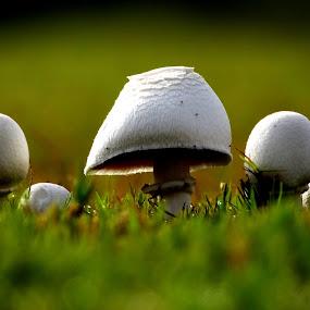 mushroom family by Nani Garu - Nature Up Close Flowers - 2011-2013 ( mushroom, macro, dew, buds, morning )