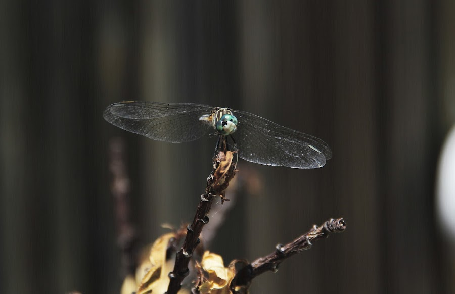 Curious Dragonfly by Victoria Foglia - Animals Insects & Spiders ( colorful, fly, bug, dragonfly, insect )