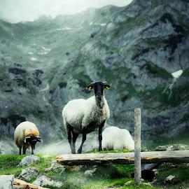 Durmitor style  by Marko Radovanovic - Animals Other Mammals ( wild, isolated, mountain, white, wildlife, rock, horn, mammal, alpine, wilderness, nature, ram, horned, sheep, animal )