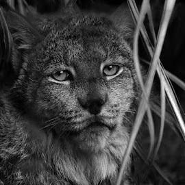 Linx  by Richard Busch - Animals Lions, Tigers & Big Cats ( #rabphotos, #bobcat, #ihate tags, #linx, #blackandwhite )