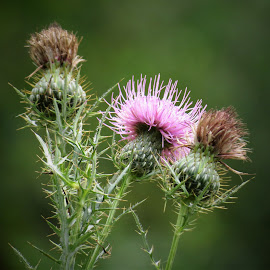 Thistle by Erika  Kiley - Novices Only Flowers & Plants ( plant, thistle, pink, garden, flower )