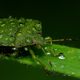 Green Shieldbug by Pat Somers - Animals Insects & Spiders (  )