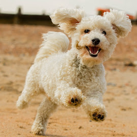 Bertie the Bichon Frise by Jenny Trigg - Animals - Dogs Running ( sand, happy, bichon frise, puppy, beach, dog, spring, running,  )