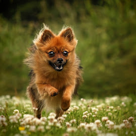 by Jane Bjerkli - Animals - Dogs Running