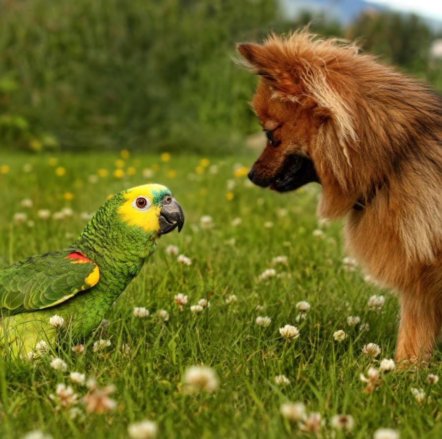 Pelle says hello by Jane Bjerkli - Animals Birds ( grass, eidsvoll, pwctaggedbirds, friendly, greets, norway, bird, amazon parrot, pomeranien, friends, watching, pet, summer, flowers, dog, garden, blue fronted amazon,  )