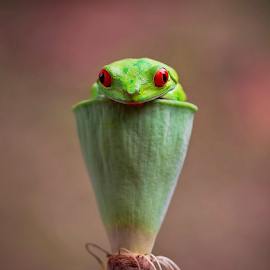 I am Frog...Not Cobra.... by Vincent Sinaga - Animals Amphibians ( amazon frog, frog, amphibian, animal, cobra )