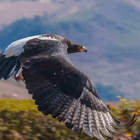 Vereaux's Eagle by Pax Bell - Animals Other ( vereaux, eagle, black eagle )