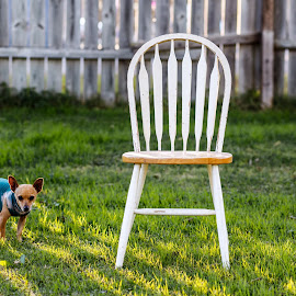 May I have a Seat by Rob Heber - Animals - Dogs Portraits ( natural light, lawn, yard, wood, chair outside, cute, furniture, weathered, shallow depth of field, nature, seat, no people, dog wearing clothes, pensive, backyard, animal, grass, animal theme, sunlight, shadows, mammal, canine, pet portrait, chair, fence, pattern, focus on foreground, wooden chair, pet, outdoors, wooden fence, selective focus, adorable, day, chihuahua, dog, daylight, outside, design, green grass )