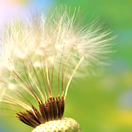 Seedy Beauty by Janet Herman - Nature Up Close Other plants ( seed head, dandelion, plants, nature up close, seeds, weeds )