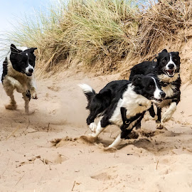 Crazy Collies by Sue Lascelles - Animals - Dogs Playing