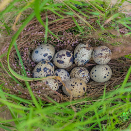 A quail's nest with eggs. by John Greene - Nature Up Close Other Natural Objects ( eggs, bird, nest, quail, john greene, wildlife )