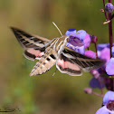 White-lined Sphinx Moth