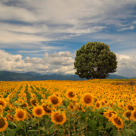 Sunflowers fields by Fed ® 連銀 - Landscapes Prairies, Meadows & Fields ( sky, tree, horizontal, gold, yellow, sunflowers fields, no persons )