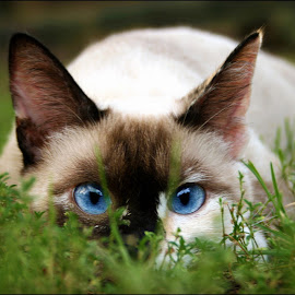 Ming by Craig McNiven - Animals - Cats Portraits ( cat, crouching, blue, white, ming, siamese, black, eyes,  )