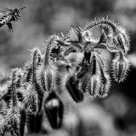 Bee and flower by Todd Reynolds - Black & White Flowers & Plants