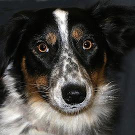 Sadie by Chrissie Barrow - Animals - Dogs Portraits ( border collie, female, pet, white, fur, dog, nose, tan, black, portrait, eyes )