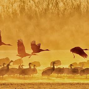 Misty Morning by Mark Theriot - Animals Birds ( bird, flight, fog, birds cape, crane, sandhill, fire, sun, mist, bif )