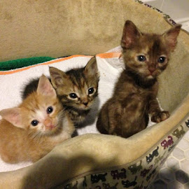Rescued Bottlefed Kittens by Debbie Salvesen - Animals - Cats Kittens ( orphaned animals, cubby bear, animals, tiger, pumpkin, rescued cats, rescued, kittens, adopted animals,  )