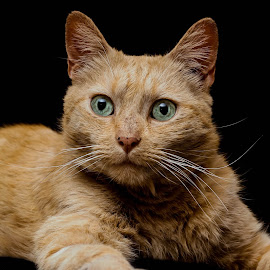Lucky by Susan Pretorius - Animals - Cats Portraits