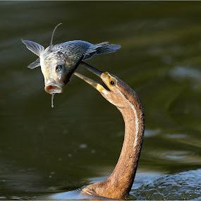 dater catch by Geo Jooste - Animals Birds