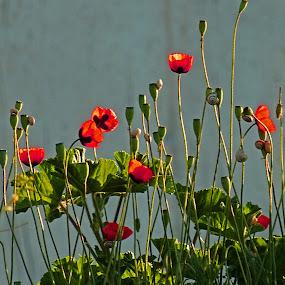 poppies by Dobrinka Ivanova - Uncategorized All Uncategorized ( poppies )