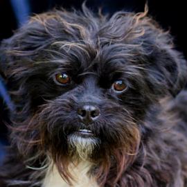 Lady Elaine by Myra Brizendine Wilson - Animals - Dogs Portraits ( canine, pet, lady elaine, dog )