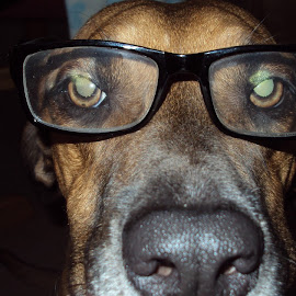 Professor Bently by Rich Prall - Animals - Dogs Portraits ( glasses, professor, dog, smart )