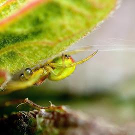 Green orb spider by Kim White - Novices Only Macro ( green, wildlife, orb spider, insect, green orb spider, spring, macro, season, nature, arachnid, bug, spider, garden, animal )