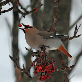 Dinner! by Barb Toews - Animals Birds ( bird, bohemian waxwing, bombycilla garrulus, animal, waxwing )