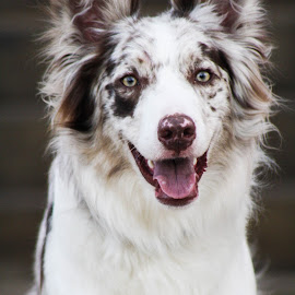 Happy Pup by Jordan Fuchsberger - Animals - Dogs Portraits ( border collie, fluffy, puppy, australian shepherd, dog )