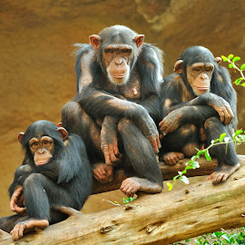 Family by Tomasz Budziak - Animals Other Mammals ( monkey, animals, family,  )