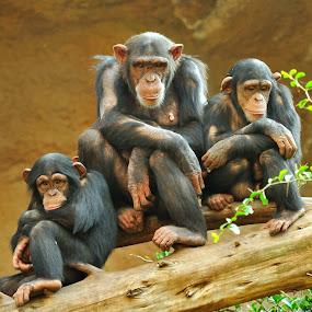 Family by Tomasz Budziak - Animals Other Mammals ( monkey, animals, family,  )