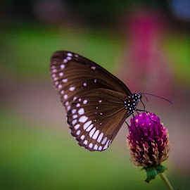 Butterfly by Gopal Paul - Animals Insects & Spiders