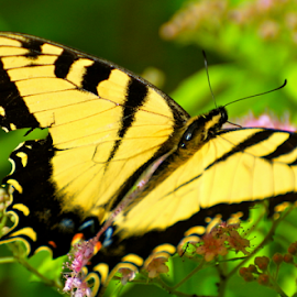 Yellow Butterfly by Dave Feldkamp - Animals Insects & Spiders ( butterfly, yellow butterfly, yellow )