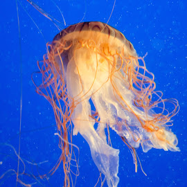 Jellyfish by Cory Bohnenkamp - Animals Fish ( animals, fish, jellyfish, animal )