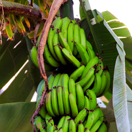 Gone Bananas! by Jackie Eatinger - Nature Up Close Gardens & Produce (  )
