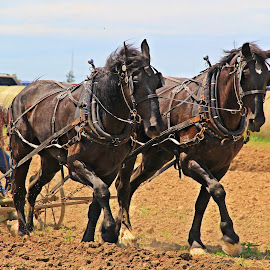 Plowing by Marsha Biller - Transportation Other ( field, antique plow, plowing, horses, farming )